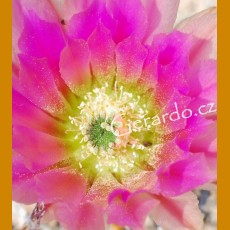Echinocereus dasyacanthus ssp. crocketianus GCG 10712 Fort Lancaster, Tx. - shinning bright, intense pink flowers (10 SEEDS)