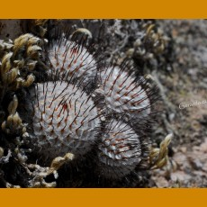 Mammillaria perezdelarosae ssp.andersoniana GCG 12645 Villa Garcia II. TL,Zac. (10 SEEDS)