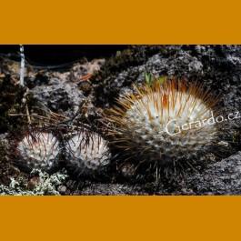 Mammillaria perezdelarosae ssp.andersoniana var.longispina GCG 12621, Guanajuato NEW FANTASTIC VARIETY! (10 SEEDS)
