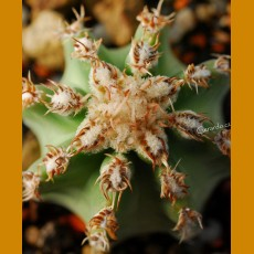 Echinocereus hybr.  `Josephine´ F1  -25C  very nice body & flowers (10 SEEDS)