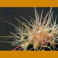 Echinocactus grusonii ssp.zacatecasensis GCG 10862, San Rafael de Las Tablas, Zac. (1000 SEEDS)