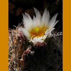 Echinomastus warnockii f. GCG 10962 San Miguel, Mpo.Ocampo, Coah. (10 SEEDS)