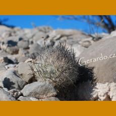 Echinomastus mariposensis f. GCG 12656 Gabino Vasquez - Cuatrocienegas, Coah. (10 SEEDS)