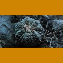 Aztekium ritterii f.intercostatum aff.  GCG 10888 Puente Ciprian,NL (100 SEEDS) (100 SEEDS)