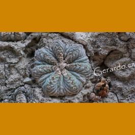 Aztekium ritterii f.rotundum GCG 12630 El Barrial III.,NL (10 SEEDS)