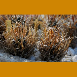 *Toumeya papyracantha FH 087  Little Colorado River, Az. GRAFTED (1-2cm PLANT)