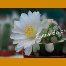 *Mammillaria theresae albiflora GRAFTED (1-2cm PLANT)