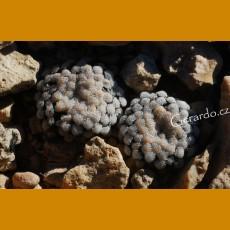 *Mammillaria luethyi GCG 12666, TL, N of Jose Maria Morelos, Coah. GRAFTED (1-2cm PLANT)
