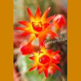 *Loxanthocereus hoxeyi GCG 9890 TYPE, Moro de Sama, Peru, 760m GRAFTED (1-2cm PLANT)