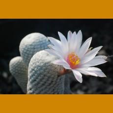 *Mammillaria herrerae albiflora GCG 8053 Km12 S of Pozos, Gto. GRAFTED (PLANT 1-2cm)