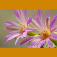 *Turbinicarpus nikolae GCG 10892 San Pedro, SLP GRAFTED (1-2cm PLANT)