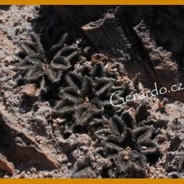 *Mammillaria bertholdii GCG 10006 San Pedro de Quichapa, Oax. GRAFTED (1,5-3cm PLANT)