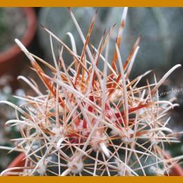 *Ancistrocactus pinkavanus GCG 12646 Cuatrocienegas-Ocampo, Coah. GRAFTED (1,5-3cm PLANT)