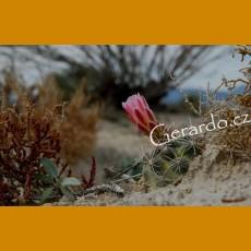 *Ancistrocactus pinkavanus GCG 10914 San Juan de Boquillas, Coah. GRAFTED (1,5-3cm PLANT)