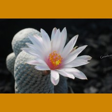 *Mammillaria hererrae ssp.albiflora GCG 8053, km12 S of Pozos, Gto. GRAFTED (1,5-2cm PLANT)