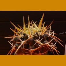 *Horridocactus horridus PHA 1995 Pichidangui, Chile (PLANT 1,5-2cm)