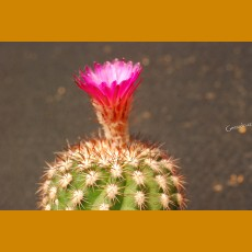 *Islaya divaricatiflora GCG 9812, SE of Punta de Bombon, Peru, 920m  GRAFTED (1,5-2,5cm PLANT)