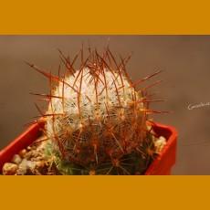 *Echinomastus mariposensis f. KPP Puertecitos, Coah. GRAFTED (1-2cm PLANT)