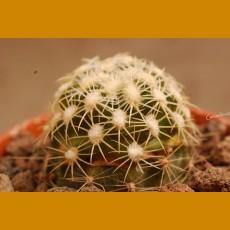 *Pediocactus bradyi ssp.bradyi GCG 10426 North Canyon, Cocconino Co.,Az. GRAFTED (1-2cm PLANT)