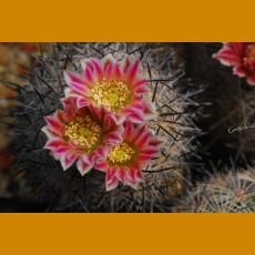 *Echinomastus hispidus VZD 595 El Sacrificio, Coah. (GRAFTED PLANT 1,5-2cm)