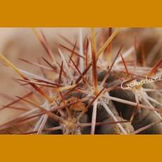 Echinocereus palmeri subsp. Mazapil GCG 11040, Estacion Simon, Zac./Dur. - extremely rare (100 SEEDS)
