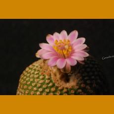 *Yavia cryptocarpa JBE 236.1 Cuesta de Toquero, Arg. GRAFTED  (1-2cm PLANT)