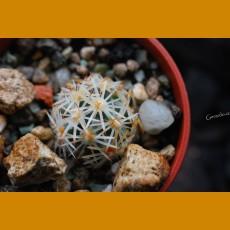 *Escobaria (Cochisea) robbinsorum GCG 10800 Canyon de Guadalupe, E of Douglas, Cochise Co.,Az. (1-1,5cm PLANT)