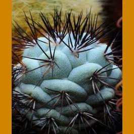 *Ortegocactus macdougalii GCG 10826 San Pedro de Quichapa, Oax. (1,5-2cm GRAFTED PLANT)