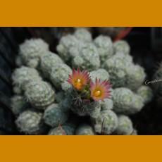 *Escobaria sneedii ssp.leeii GCG 7988 Carlsbad Caverns, Guadalupe Mts.,Eddy Co., NM (1-2cm PLANT)