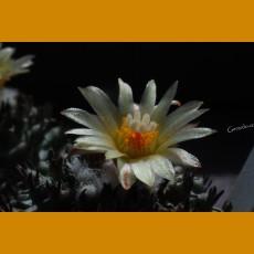 *Turbinicarpus flaviflorus f.brevispinus (1,5-2cm GRAFTED PLANT)