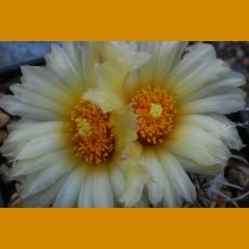 *Coryphantha pseudokracikii n.n. GCG 10007 Sierra Las Pampas, Chih. (1cm PLANT)