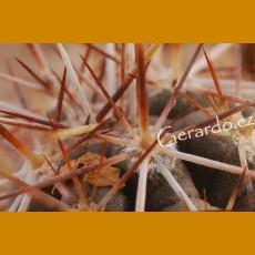 *Echinocereus palmeri ssp.mazapil GCG 11040 Est.Simon, Dgo./Zac. GRAFTED (1-2cm PLANT)