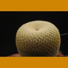 *Epithelantha bokei f. GCG 10917 El Chiflon, Coah.  (1-2cm GRAFTED PLANT)