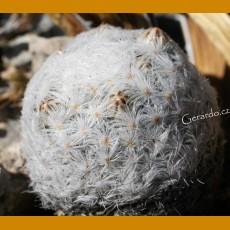 *Mammillaria lasiacantha f.plumosa GCG 12655 Sacramento, Coah. (1-2cm GRAFTED PLANT)