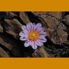 Turbinicarpus valdezianus GCG 9728 San Martin de Las Vacas, Coah.  (10 SEEDS)