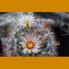 Mammillaria barbata SB 22 Cosihuiriachic, Chih. (10 SEEDS)