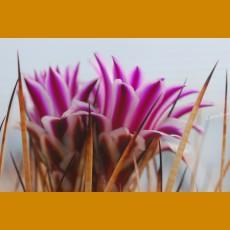 Echinofossulocactus zacatecanensis GCG 10990 Agua Gorda, NW of Sombrerrete, Zac (100 SEEEDS) nice shiny white spines