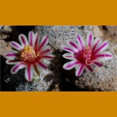 *Mammillaria hermosana VZD 1181, El Encino, Zac  (SEEDLING 1 cm )