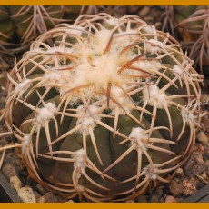 "Gymnocalycium spegazzinii ""punillaense"" SELECTION VS 077 La Punilla, 1650m, Salta, Arg. (10 SEEDS)"