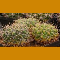 """Gymnocalycium achirasense """"villamercedense"""" GN88-082/0206 La Toma, 1000m, San Luis, Arg. (10 SEEDS)"""