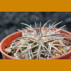 "Gymnocalycium spegazzinii ""major""  JPR95-167/513 La Merced, Salta, Arg. (10 SEEDS)"