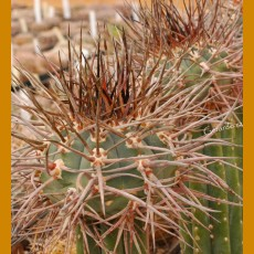 Gymnocalycium armatum SELECTION VS 579 N Paichu Centro, 2617m, Tarija, Bolivia (10 SEEDS)