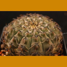 Gymnocalycium occultum  VS 132 Miraflores, 1100m, Catamarca, Arg. (10 SEEDS)