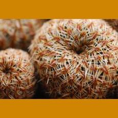 Sulcorebutia gemmae VS 433 Villa Redencion Pampa, 2537m, Chuquisaca, Bolivia (10 SEEDS)