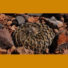 Pelecyphora strobiliformis f.minor W of Vanegas, SLP  (10 SEEDS)