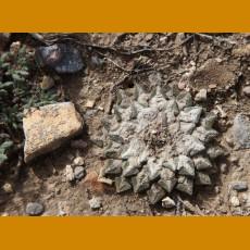 Ariocarpus kotschoubeyanus elephantidens MZ 325 Cadereyta, Qro. (10 SEEDS)
