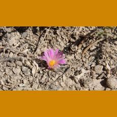 Ariocarpus kotschoubeyanus PP La Trueba, Mpo.Vanegas, SLP (10 SEEDS)