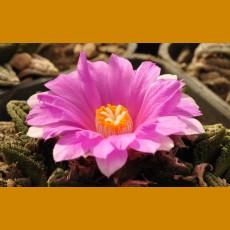 Ariocarpus fissuratus hintonii MZ 891 El Herrero, SLP (10 SEEDS)