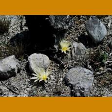 Ariocarpus trigonus var.minor, VM 313, balneario Jaumave,Tamp. (10 SEEDS)