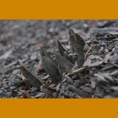 Ariocarpus scapharostrus typ form (dry tubercules form), VM 616, El Nogal, N of Rayones,NL (10 SEEDS)